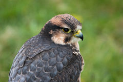 Lanner falcon portrait. Side view of a Lanner falcon Stock Photography