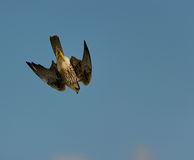 Lanner Falcon stooping Stock Image