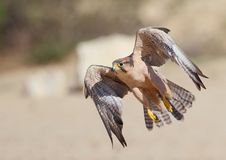 Lanner Falcon taking off in the Kalahari Royalty Free Stock Photography