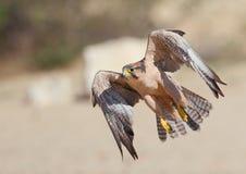 Lanner Falcon taking off in the Kalahari. Lanner Falcon photographed taking off in the Kalahari Royalty Free Stock Photography