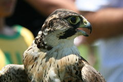 Lanner Falcon. The Falcon was at a Bird Sanctuary in the Drakensberg Stock Photo