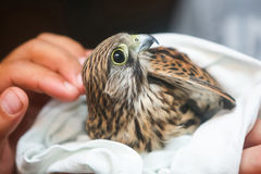 Lanner falcon wrapped in towel Royalty Free Stock Image