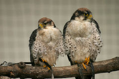 Lanner falcons Royalty Free Stock Image