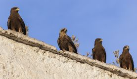 Lanner falcons on the walls of open air butchery in city of Jugol. Harar. Ethiopia.