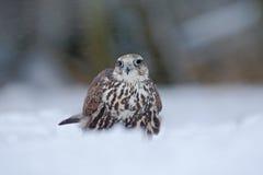 Lanner falk, fågel av rovet med snöflingan i kall vinter som är insnöad skogen, djur i naturlivsmiljön, Frankrike fotografering för bildbyråer