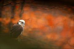 Lanner jastrząbek, Falco biarmicus, ptak zdobycza obsiadanie na kamieniu, pomarańczowy siedlisko w jesień lesie, rzadki zwierzę,  fotografia royalty free