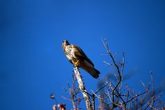 Lanner mountain falcon Falco biarmicus. The lanner falcon Falco biarmicus is a medium-sized bird of prey that breeds in Africa, southeast Europe and just into royalty free stock photo