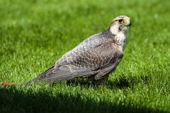Lannerfalken, den Falco biarmicusen i en tysk natur parkerar arkivfoto