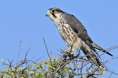 Lannervalk, Lanner Falcon, Falco biarmicus stock photography