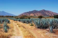 Lanscape龙舌兰酒墨西哥 免版税库存照片