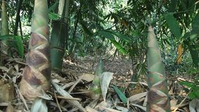 Lanscape av bambuträdet i tropisk rainforest royaltyfri foto