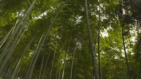 Lanscape of bamboo tree in tropical rainforest royalty free stock photo