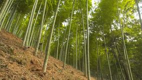 Lanscape of bamboo tree in tropical rainforest stock image