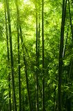 Bamboo tree forest Royalty Free Stock Photography