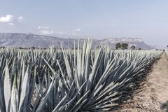 Lanscape d'agave de tequila photos stock