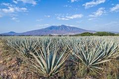 Lanscape d'agave de tequila images libres de droits