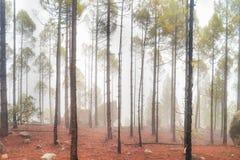 Lanscape de nature de forêt brumeuse de pin image stock