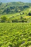 Lanscape de vigne Photo stock