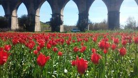Lanscape del tulipán Imagen de archivo libre de regalías