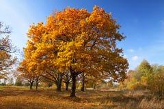 Lanscape do outono com bosque do carvalho imagem de stock