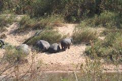 Lanscape e fauna selvatica del Sudafrica al parco 2 del kruger Fotografie Stock Libere da Diritti