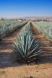 Lanscape tequila Guadalajara Obrazy Stock