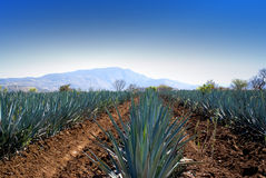 Lanscape tequila guadalajara Royalty Free Stock Image