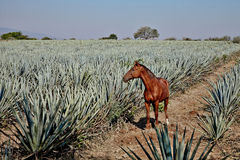 Lanscape tequila Mexico Zdjęcia Stock