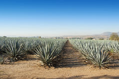 Lanscape tequila Mexico Obrazy Stock