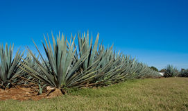 Lanscape tequila mexico Stock Photography