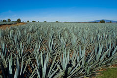 Lanscape tequila mexico Royalty Free Stock Photo