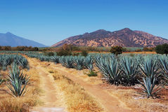 Lanscape tequila Mexiko royaltyfri foto