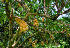 Lansium parasiticum on the branch Long Gong,Thailand Stock Photography