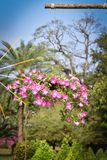 lant喇叭花的花 库存照片