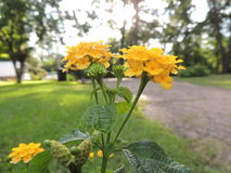 Lanta camara bloomed Stock Photo