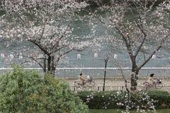 Lantaarns in Sakura Festival bij de rivier van gangooyokogawa, Tokyo stock foto