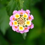 Lantana, ροζ και κίτρινος Στοκ Φωτογραφίες