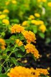Lantana στον κήπο Στοκ φωτογραφίες με δικαίωμα ελεύθερης χρήσης
