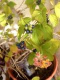 Lantana, φυτό με τα φύλλα και τα λουλούδια Στοκ Εικόνα