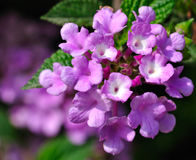 Lantana Royalty Free Stock Images