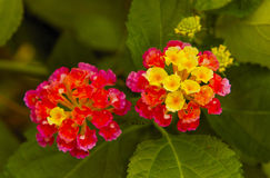 Lantana Fotos de Stock Royalty Free