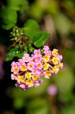 Lantana Royalty Free Stock Photography