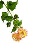 Lantana Royalty Free Stock Images