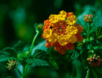 Lantana Royalty Free Stock Photo
