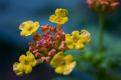 Lantana Photographie stock