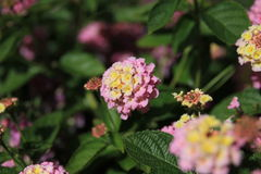Lantana Stockfotos