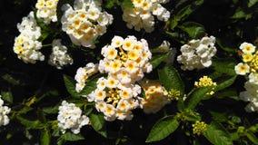 Lantana biali florets w ładnym ogródzie Obraz Stock
