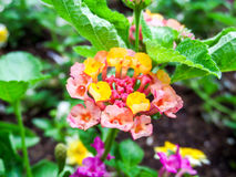 Lantana bloom colorful old rose yellow Royalty Free Stock Photography