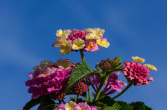 Lantana Blossom Stock Photos