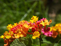 Lantana Blossom Clusters Closeup Stock Photos